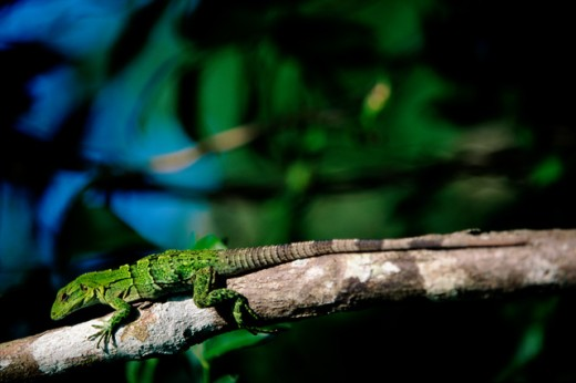 Stock Photo: 1096-1929D Close-up of an iguana on a tree branch