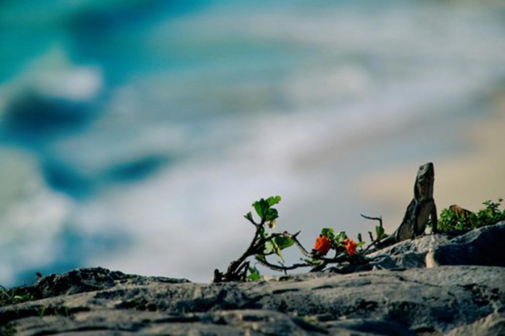 Iguana on a rock : Stock Photo