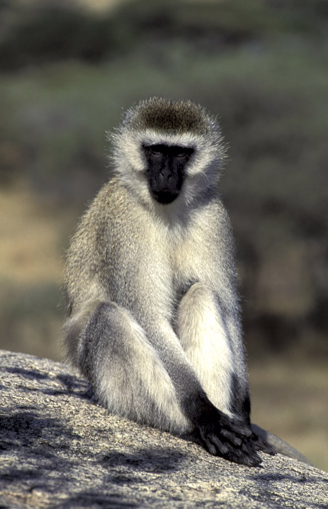Stock Photo: 1119-1178 Monkey Tanzania