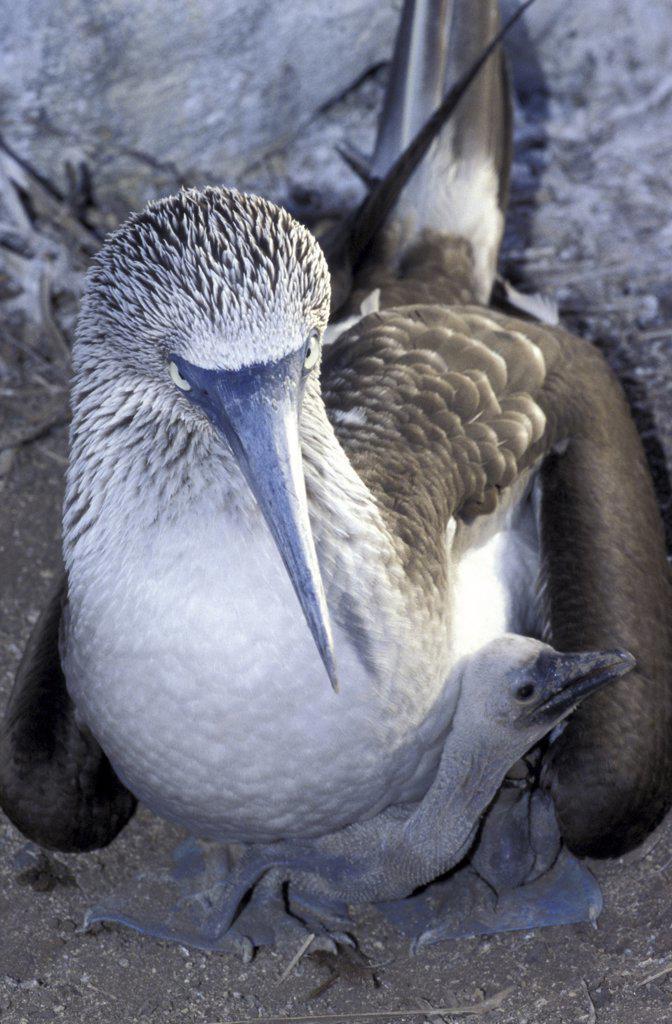 Stock Photo: 1119-1843 Close-up of a bird guarding its young in its nest, Galapagos Islands, Ecuador