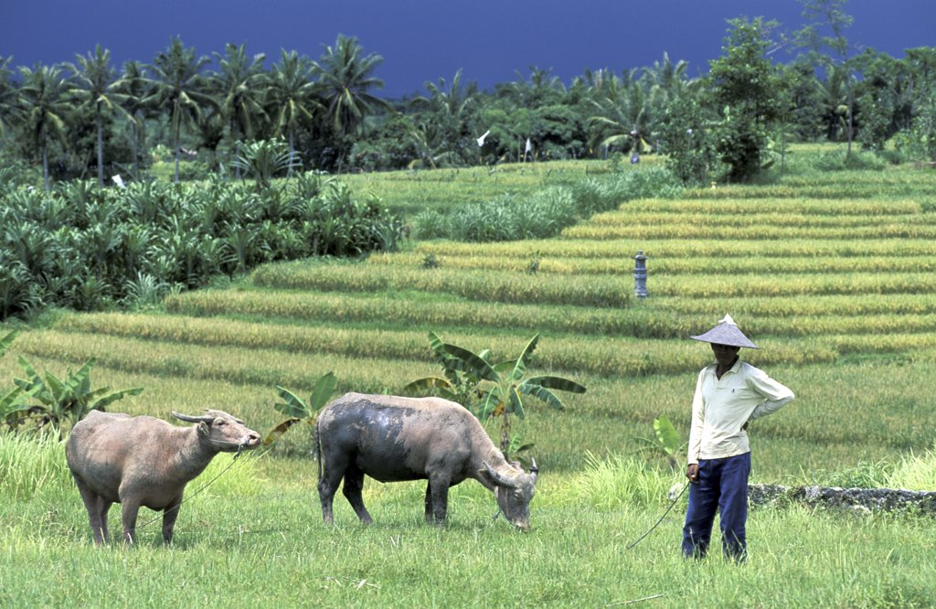 Farmer herding two bulls in a field, Bali, Indonesia : Stock Photo