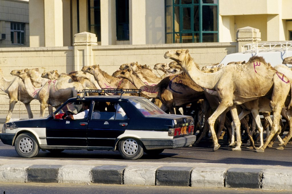 Car in front of a herd of camels on a road, Cairo, Egypt : Stock Photo