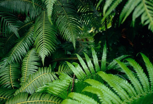 Close-up of fern leaves, Hawaii, USA : Stock Photo