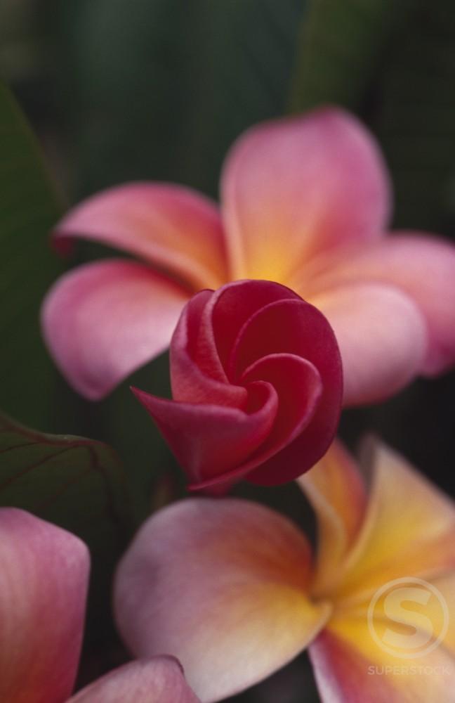 Plumeria Blossoms,  USA,  Hawaii : Stock Photo