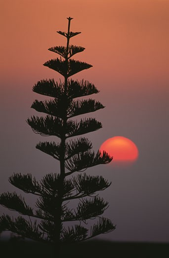 Stock Photo: 112-9020 Norfolk Pine (Araucaria heterophylla) at sunset,  USA,  Hawaii,  Maui