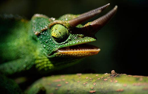 Stock Photo: 112-9755B Jackson's Chameleon,  (Chamaeleo jacksonii) close-up