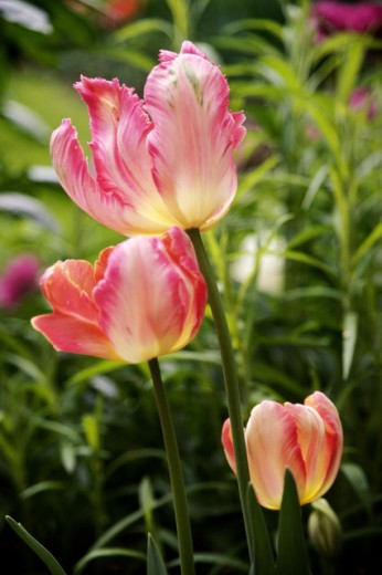 Close-up of a tulips in a garden : Stock Photo