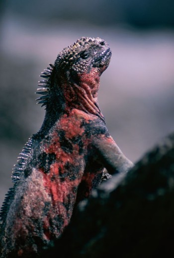 Close-up of a Marine Iguana, Galapagos Islands, Ecuador (Amblyrhynchus cristatus) : Stock Photo