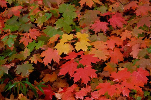 Stock Photo: 1176-276C High angle view of sugar maple leaves