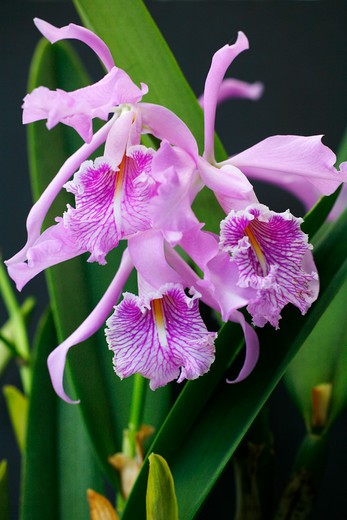 Close-up of Cattleya Maxima orchids blooming, Hawaii, USA : Stock Photo