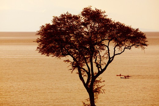 Tree with kayakers in the background, Wailea, Maui, Hawaii, USA : Stock Photo