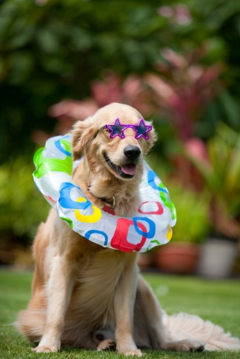 Hawaii, Golden Retriever wearing sunglasses and inflatable ring, ready for beach : Stock Photo