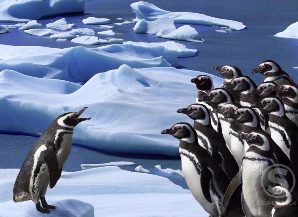 Stock Photo: 1199-167 Magellanic Penguins on ice