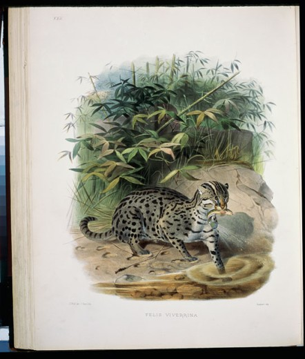 The Fishing Cat (Felis Viverrina) 1883 Daniel Giraud Elliot (1835-1915 American) Monograph Academy of Natural Sciences, Philadelphia USA : Stock Photo