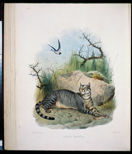 Stock Photo: 1207-130 The Caffer Cat (Felis Caffra) 1883 Daniel Giraud Elliot (1835-1915 American) Monograph Academy of Natural Sciences, Philadelphia USA