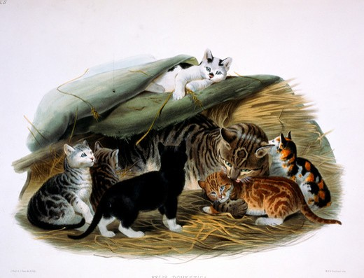 Stock Photo: 1207-140 Domestic Cat (Felis Domestica) by Daniel Giraud Elliot,  monograph,  (1835-1915),  USA,  Pennsylvania,  Philadelphia,  Academy of Natural Sciences,  1883