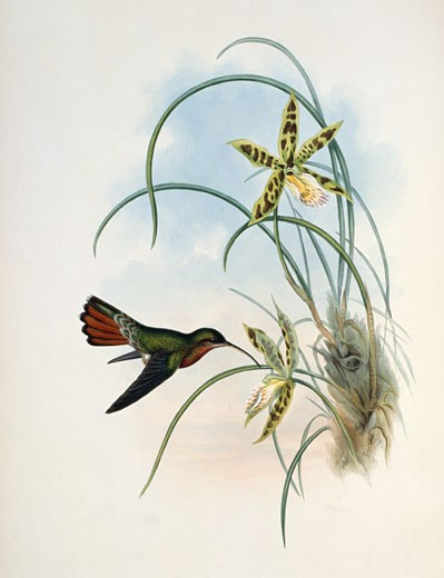 Stock Photo: 1207-149 Hairy Hermit,  by John Gould,  1861,  USA,  Philadelphia,  Academy of Natural Sciences,  1804-1881