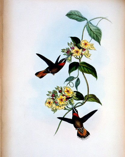 Fawn-Tailed Barbed-Throat Hermit (Threnetes Cervinicauda) by John Gould,  (1804-1881),  USA,  Pennsylvania,  Philadelphia,  Academy of Natural Sciences,  1861 : Stock Photo