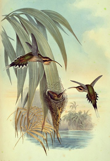Eurynome Hermit (Phoethornis Eurynome) by John Gould,  (1804-1881),  USA,  Pennsylvania,  Philadelphia,  Academy of Natural Sciences,  1861 : Stock Photo