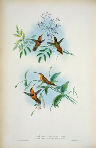 Stock Photo: 1207-155 Belted Hermit (Phaethornis Nigricinctus) And Bishop Hermit (Phaethornis Episcopus)
