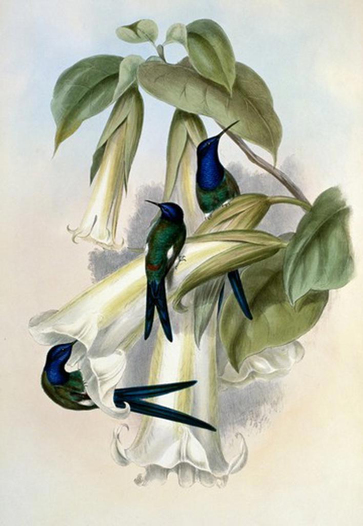 Stock Photo: 1207-156 Swallow-Tail  Hermit (Eupetomena Hirundinacea) by John Gould,  (1804-1881),  1861