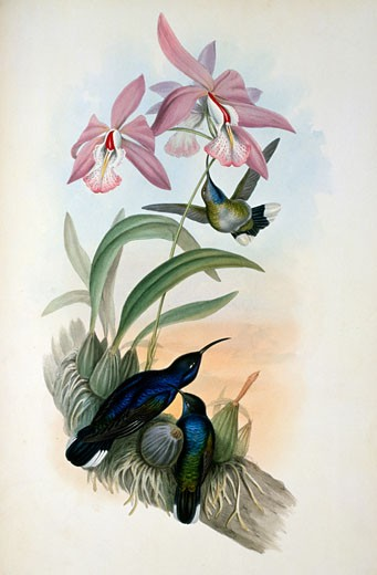 De Lattre's Sabre-Wing Hermit  (Campylopterus Delattrei) by John Gould,  (1804-1881),  1861 : Stock Photo