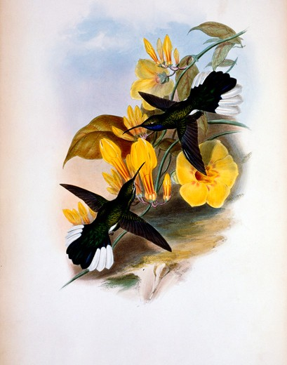 Stock Photo: 1207-159 Blue-Throated Sabre-Wing  Hermit (Campylopterus Ensipennis) by John Gould,  (1804-1881),  USA,  Pennsylvania,  Philadelphia,  Academy of Natural Sciences,  1861