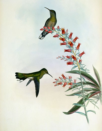 Owne's Sabre-Wing  Hermit (Campylopterus Roberti) by John Gould,  (1804-1881),  USA,  Pennsylvania,  Philadelphia,  Academy of Natural Sciences,  1861 : Stock Photo