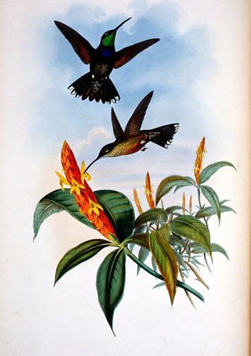Stock Photo: 1207-167 Blue-Breast Hermit  (Sternoclyta Cyaneipectus) by John Gould,  (1804-1881),  USA,  Pennsylvania,  Philadelphia,  Academy of Natural Sciences,  1861