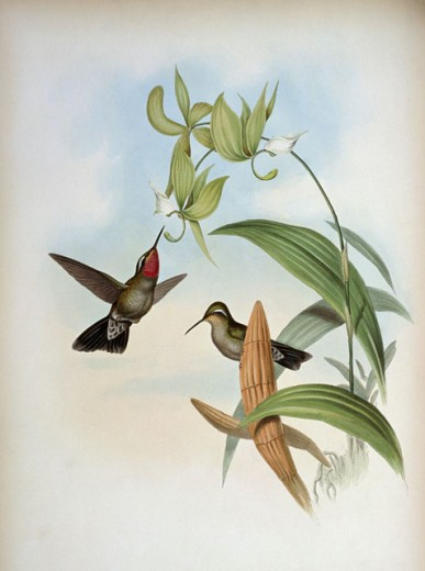 Stock Photo: 1207-169 Henry De Lattre's Cazique (Delattria Henrica)