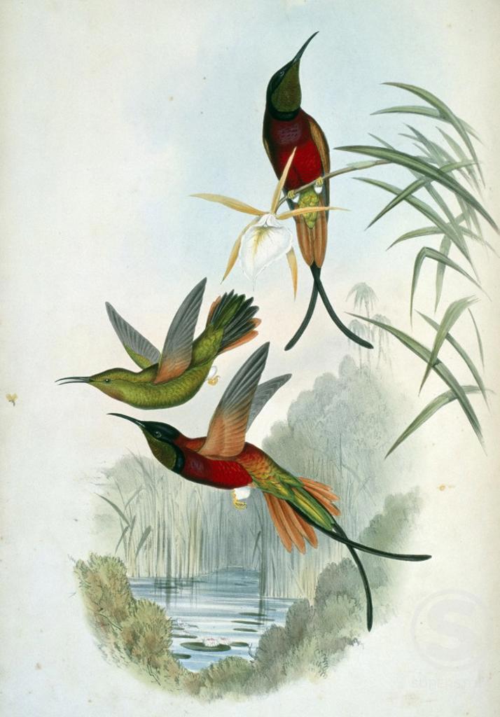 Crimson Topaz (Topaza Pella) by John Gould,  (1804-1881),  USA,  Pennsylvania,  Philadelphia,  Academy of Natural Sciences,  1861 : Stock Photo