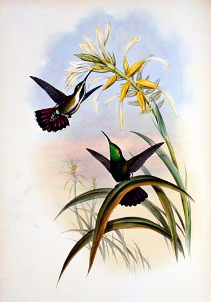 Veraguan Mango (Lampornis Veraguensis) by John Gould,  (1804-1881),  USA,  Pennsylvania,  Philadelphia,  Academy of Natural Sciences,  1861 : Stock Photo
