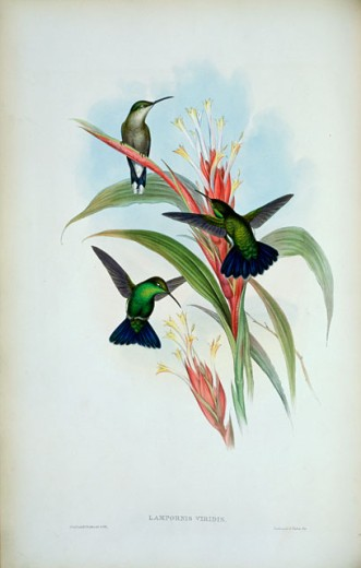 Stock Photo: 1207-175 Blue-Tailed Mango (Lampornis Viridis) 1861