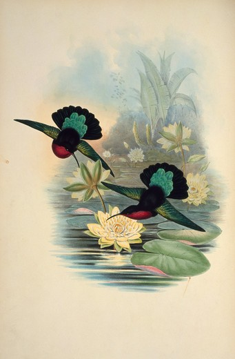 Stock Photo: 1207-176 Purple-Breasted Carib (Eulampis Jugularis) by John Gould,  (1804-1881),  1861