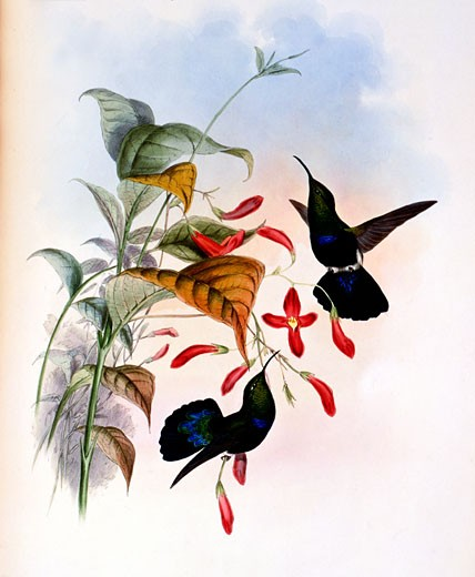 Grass-Green-Breasted Carib (Eulampis Chlorolaemus) by John Gould,  (1804-1881),  USA,  Pennsylvania,  Philadelphia,  Academy of Natural Sciences,  1861 : Stock Photo
