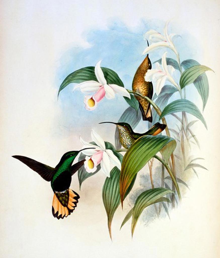 Stock Photo: 1207-178 Buff-Tailed Velvet-Breast (Lafresnaya Flavicaudata) by John Gould,  (1804-1881),  USA,  Pennsylvania,  Philadelphia,  Academy of Natural Sciences,  1861