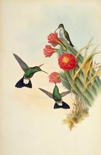 Buffon's Plumeleteer (Hypuroptila Buffon) by John Gould,  (1804-1881),  USA,  Pennsylvania,  Philadelphia,  Academy of Natural Sciences,  1861 : Stock Photo