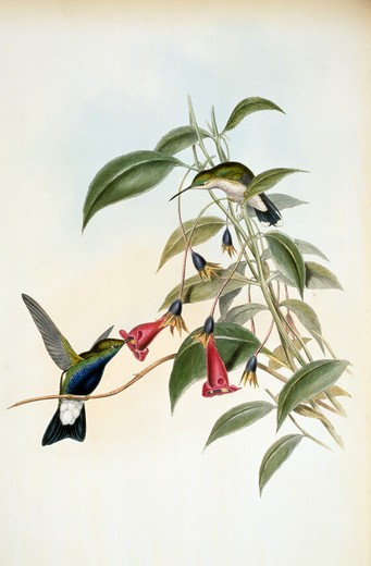 Blue-Breasted Plumeleteer (Hypuroptila Caeruleigaster) by John Gould,  (1804-1881),  USA,  Pennsylvania,  Philadelphia,  Academy of Natural Sciences,  1861 : Stock Photo