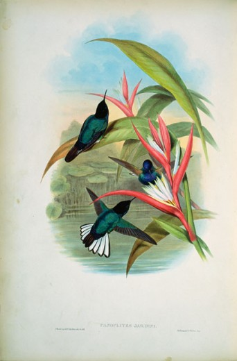 Stock Photo: 1207-185 Jardine's Panoplites (Panoplites Jardini)