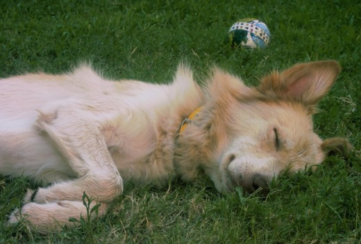 Close-up of a dog sleeping on a lawn : Stock Photo