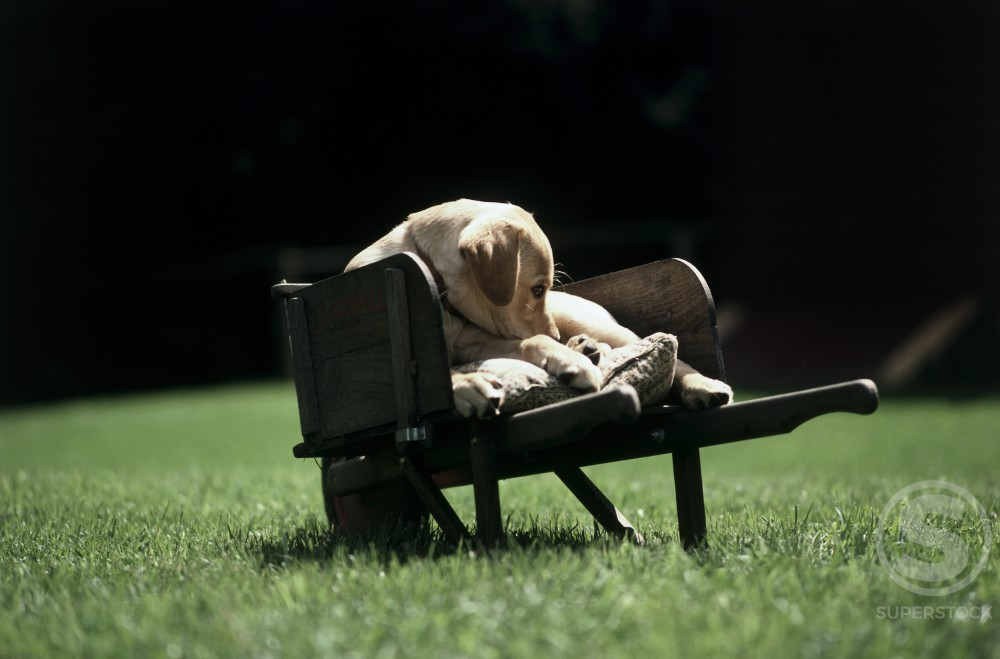 Puppy lying in a wheelbarrow on a lawn : Stock Photo
