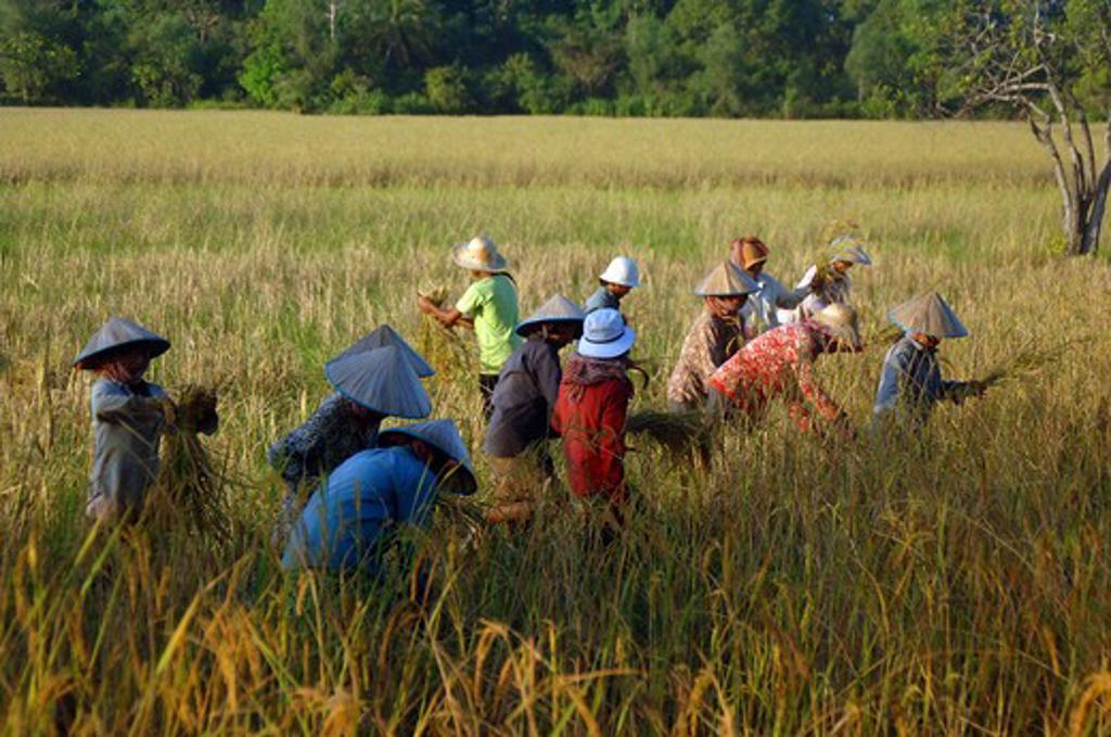 Cambodia, People harvesting rice : Stock Photo
