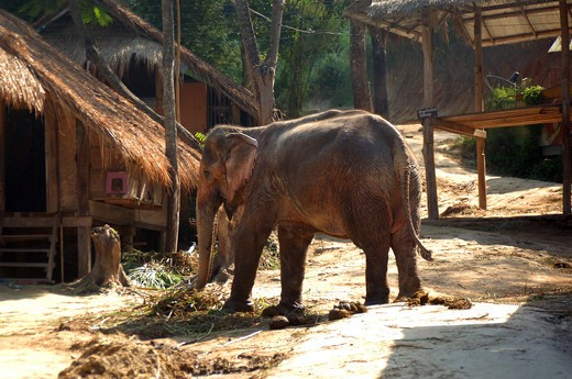 Stock Photo: 1245-689 Thailand, Chang Mai, Elephant in village