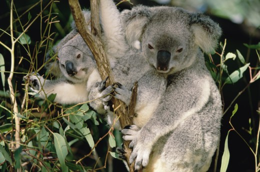 Koalas : Stock Photo