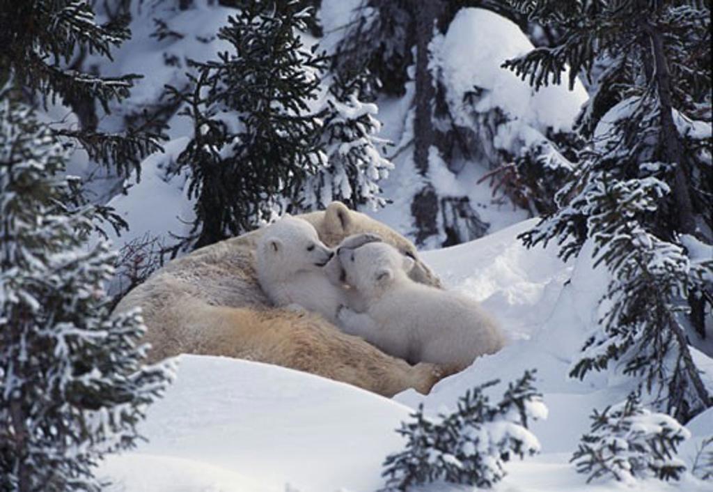 Polar Bears Wapusk National Park Manitoba Canada : Stock Photo
