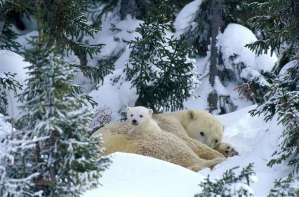 Stock Photo: 1257-201B Polar Bears Wapusk National Park Manitoba Canada