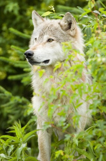 Stock Photo: 1257-319 Close-up of a Gray Wolf in a forest (Canis lupus)
