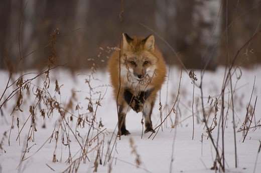 Stock Photo: 1257-400B Red fox (Vulpes vulpes) standing in a snow covered field