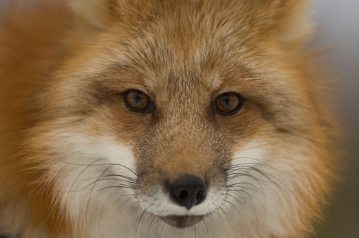 Stock Photo: 1257-401B Close-up of a Red fox (Vulpes vulpes)