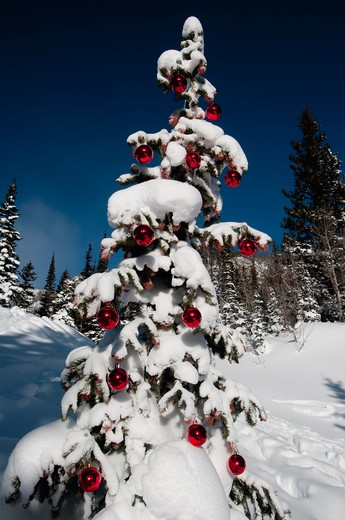 Stock Photo: 1257-430 Low angle view of a snow covered Christmas tree, Dream Lake, Estes Park, Rocky Mountain National Park, Colorado, USA